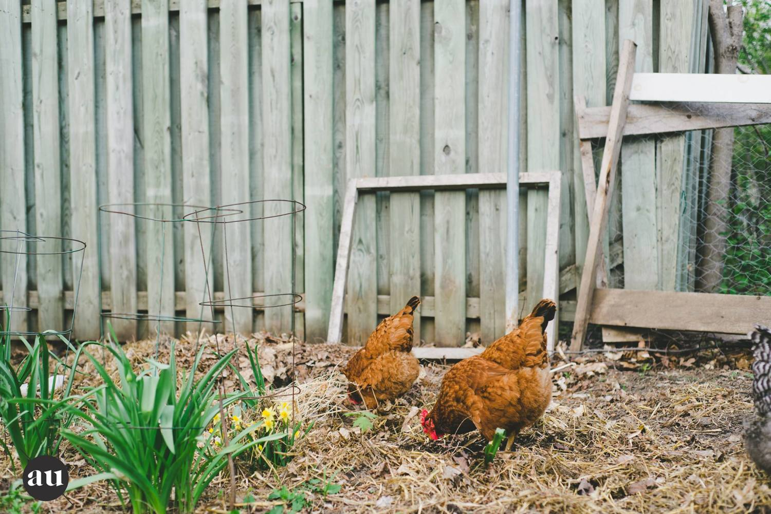 help save our chickens backyard chickens