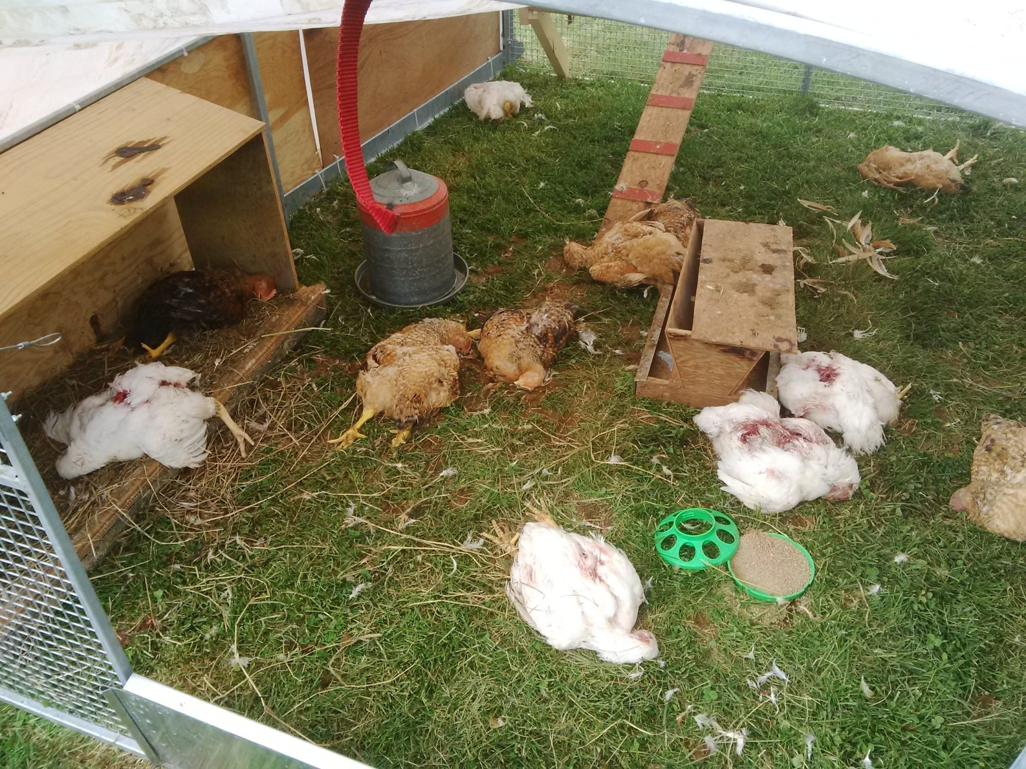 chicken tractors do not offer good protection from predators
