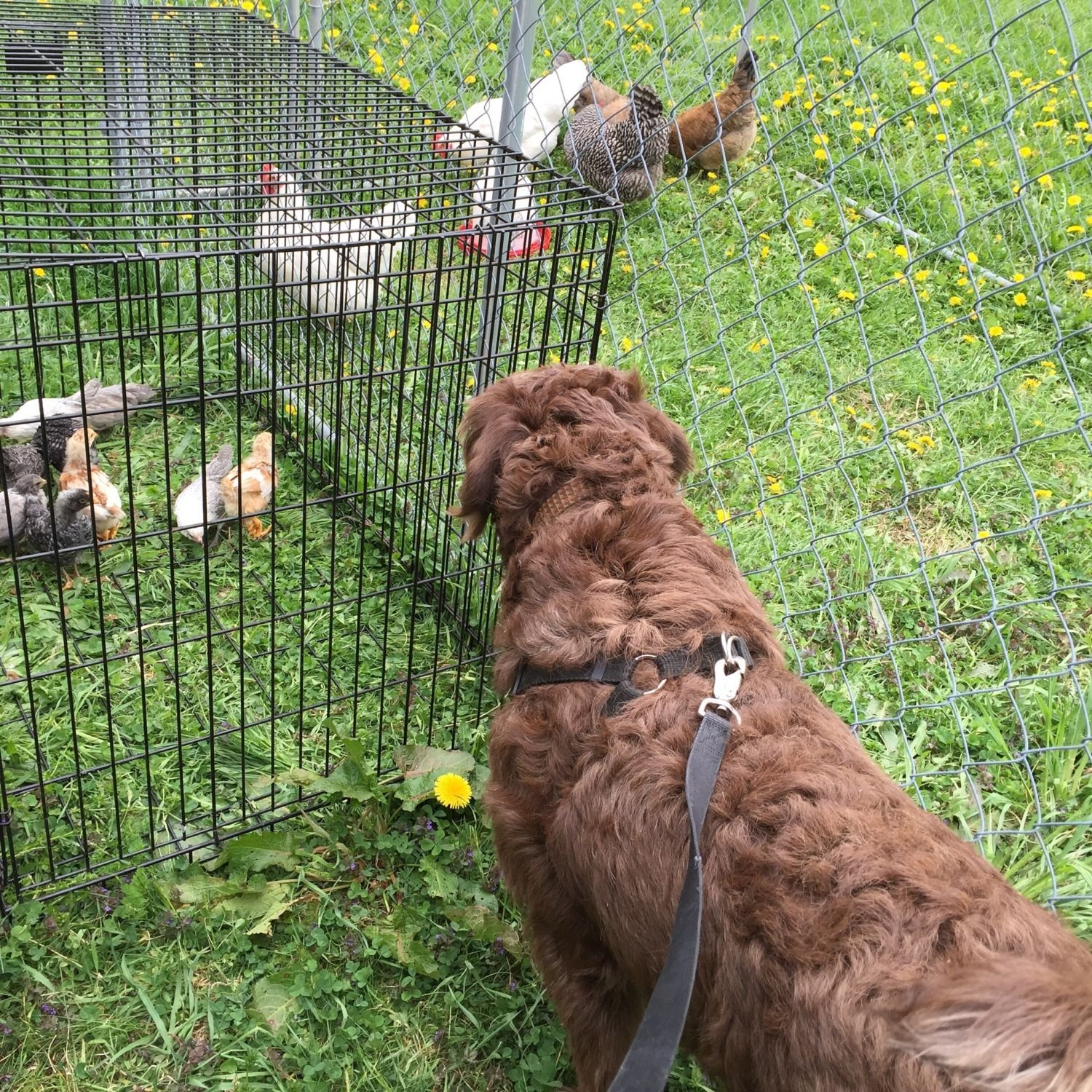 1 Year Old Labradoodle With Chickens