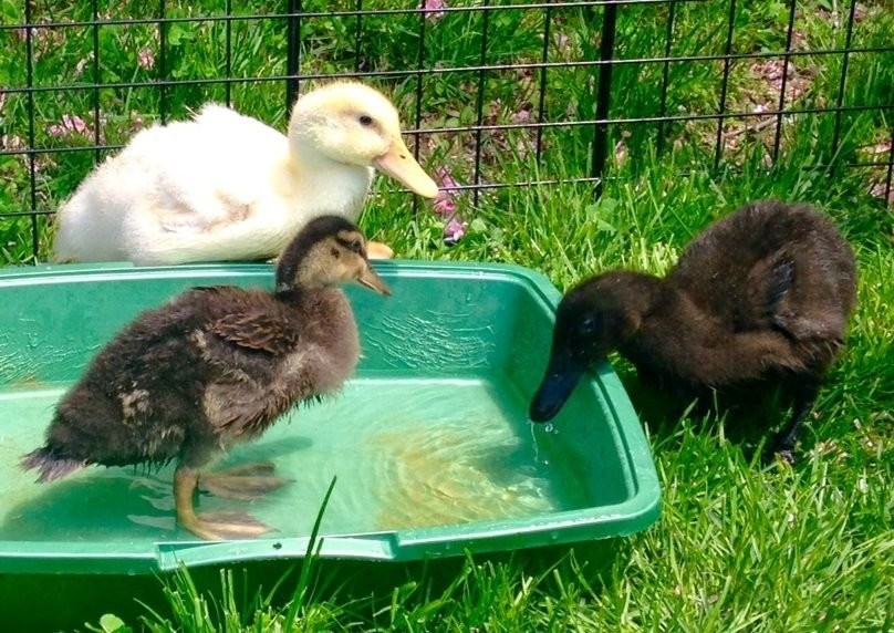 Zoning laws for keeping Ducks in Montgomery County, MD ...