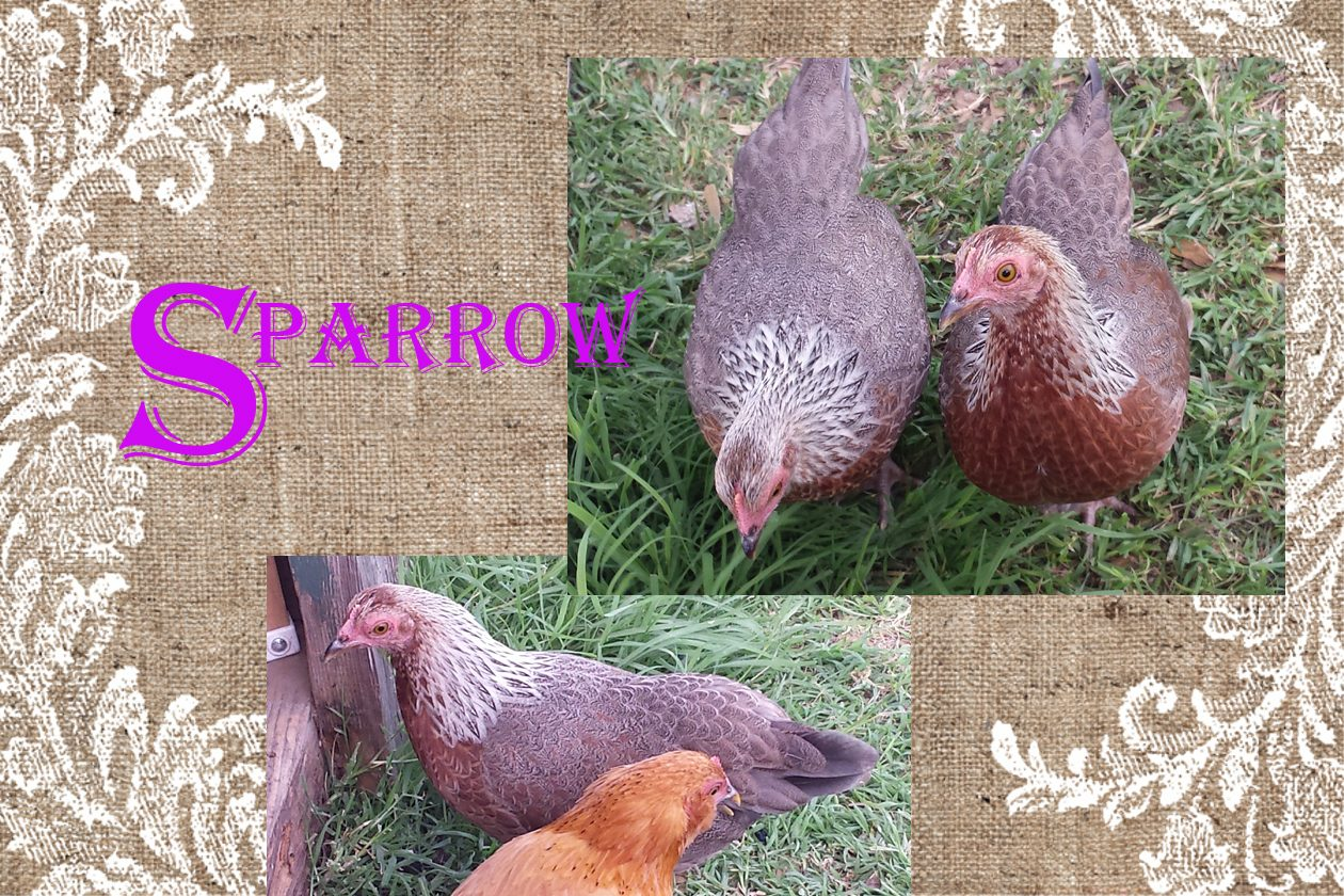 Sparrow: White (chocolate-chipped) mix x Brown Partridge Cochin bantam hen (of the twins, her brown sits a shade darker and covers spottingly on her sides)
