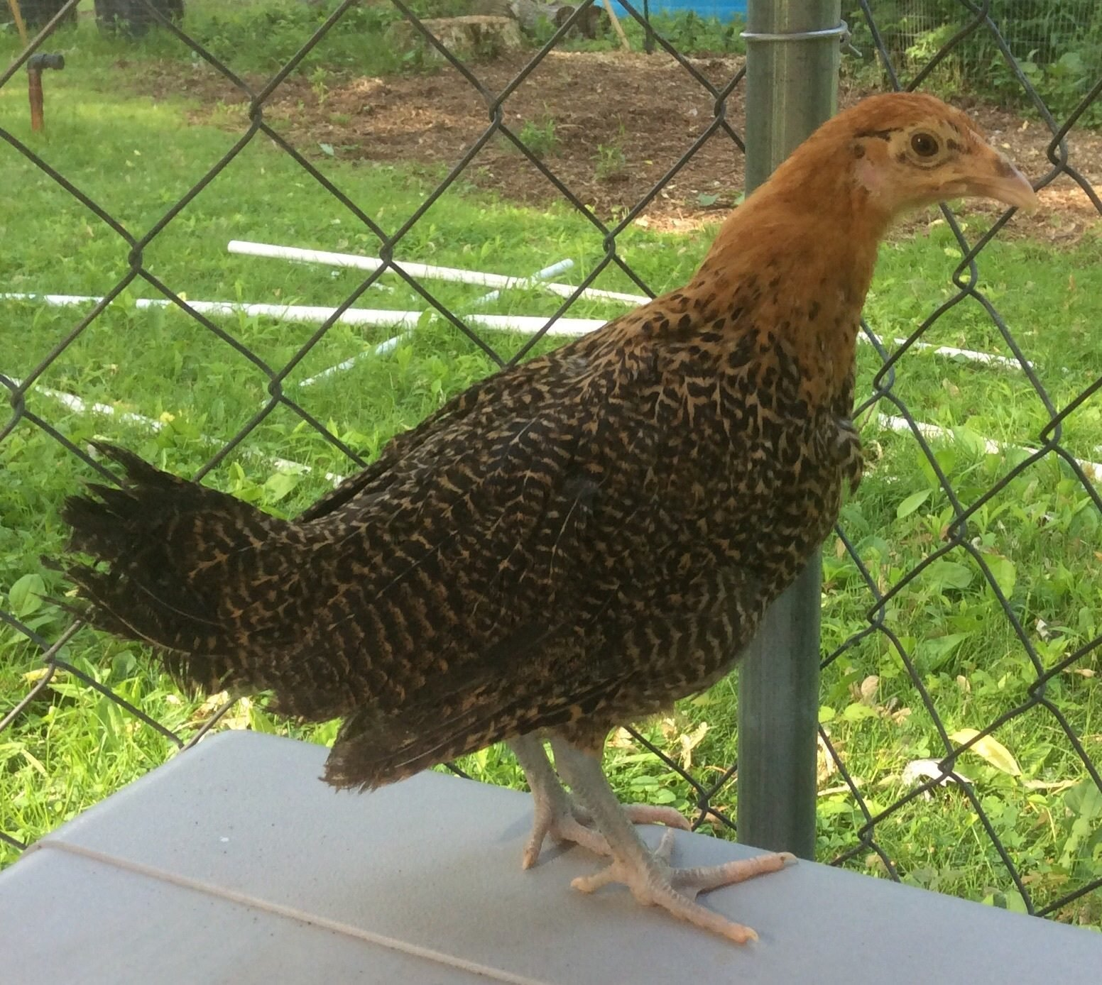 golden campine or golden penciled hamburg backyard chickens