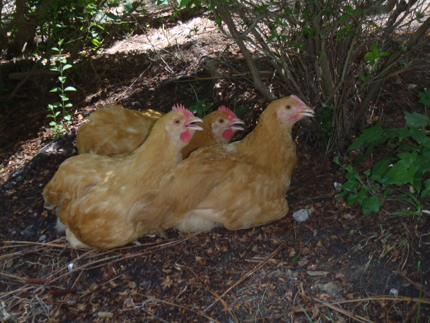 buff orpington rooster or hen backyard chickens