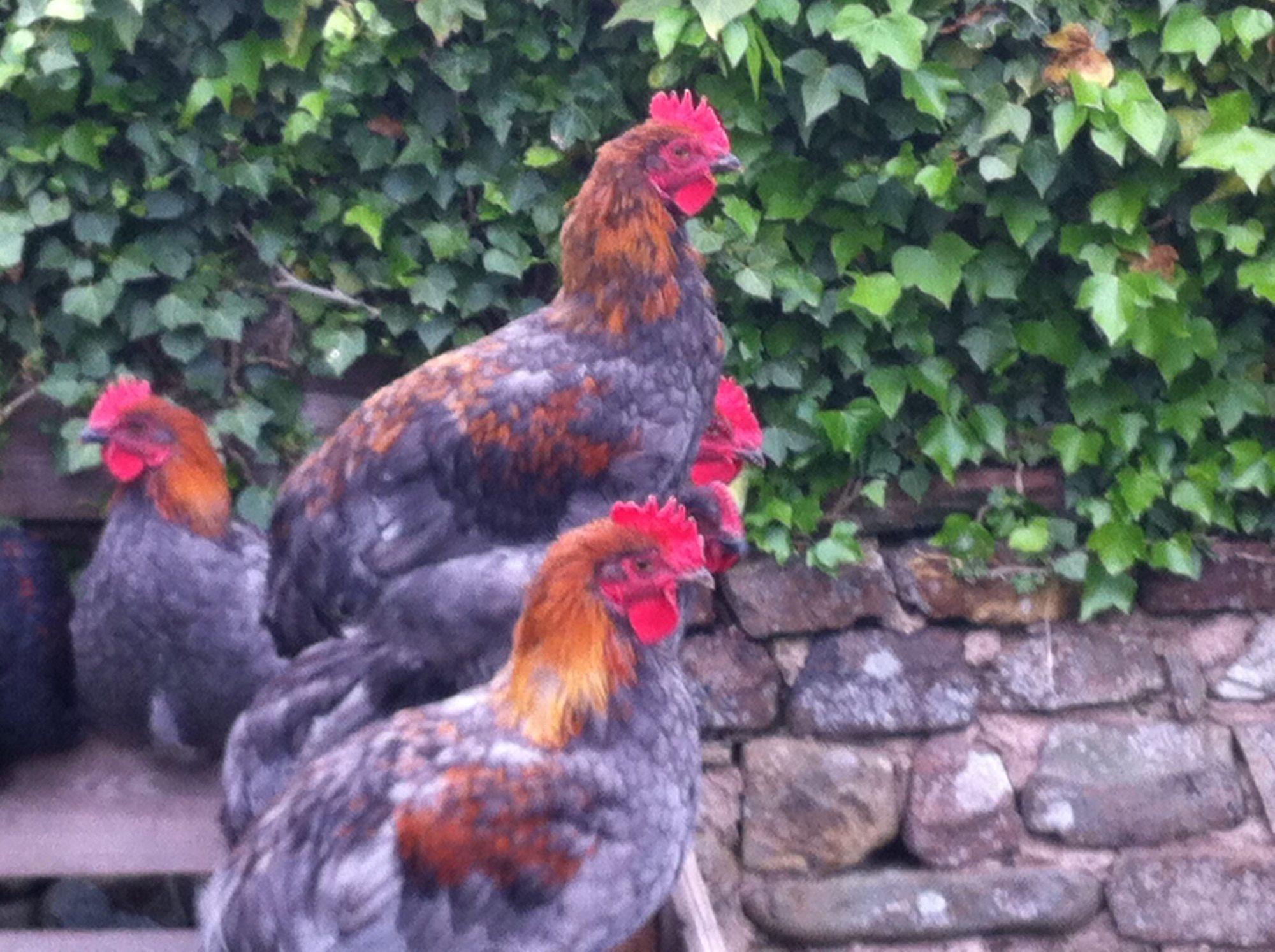 free french copper blue marans cockerels 5x cumbria uk
