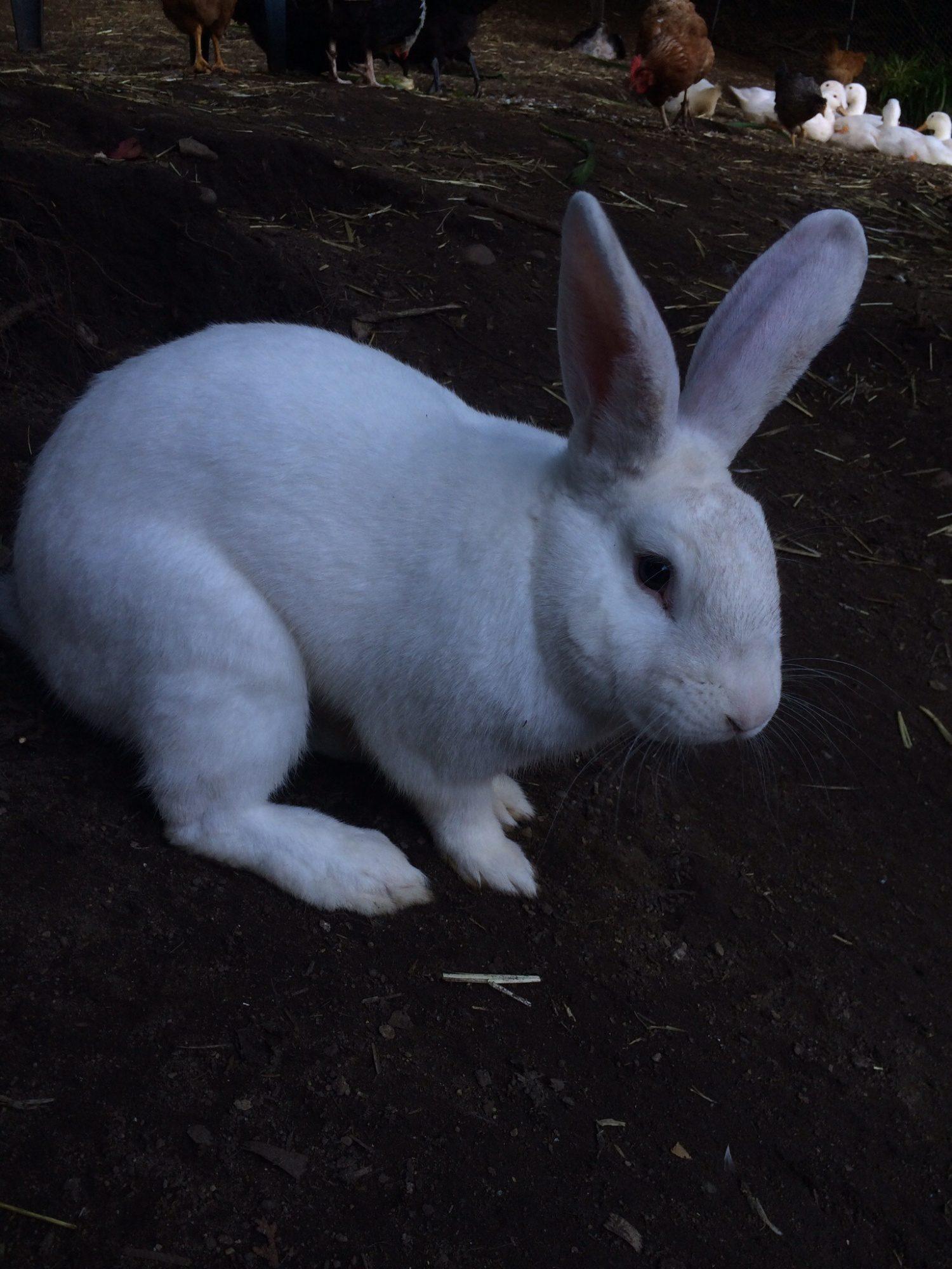 rabbits page 38 backyard chickens