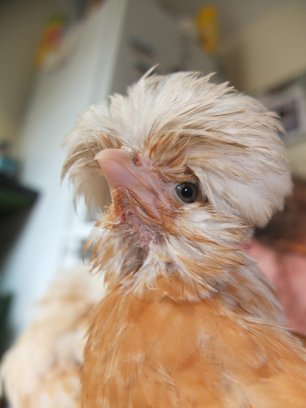 We Managed To Wash Their Crazy Hair Backyard Chickens