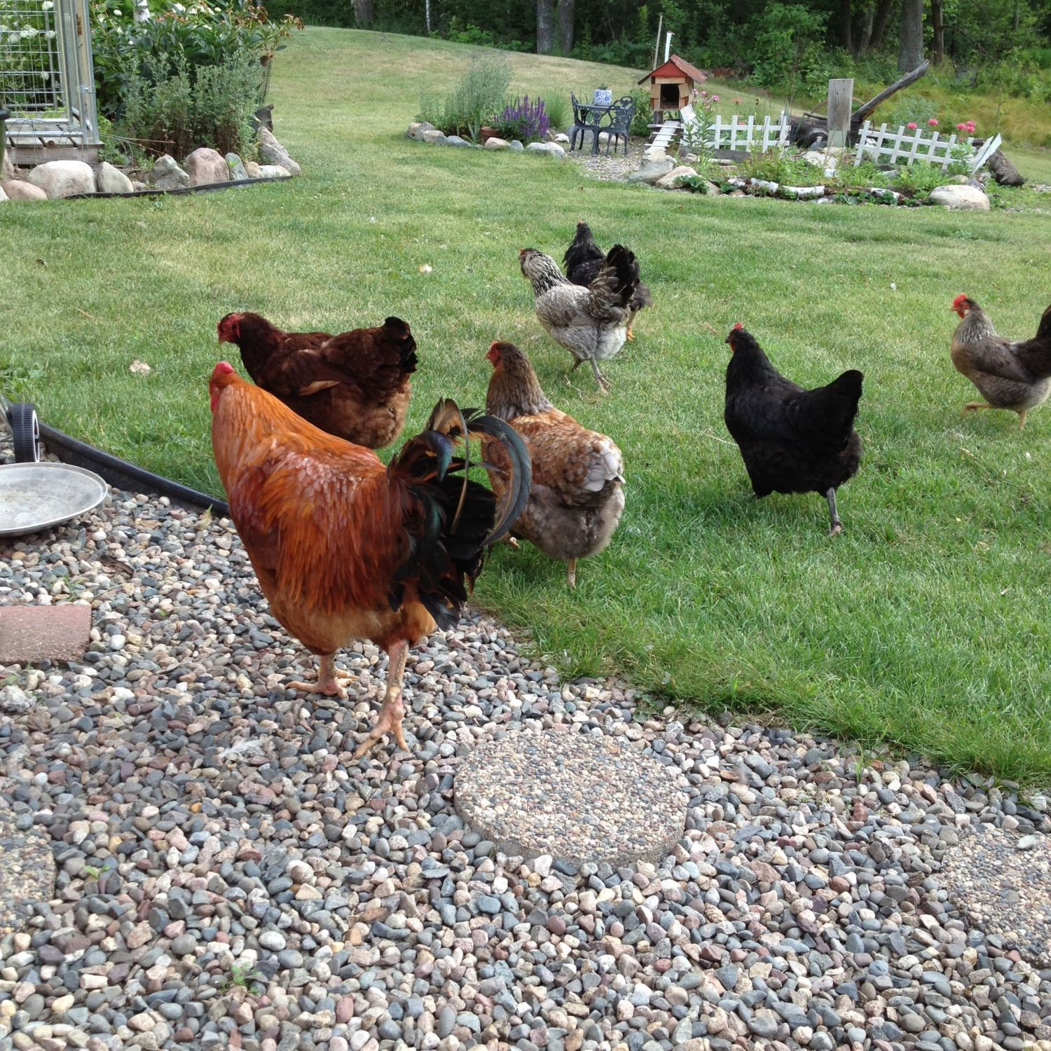 landscaping and plantings for a free range flock backyard chickens