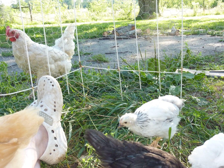 wyandotte egg production backyard chickens