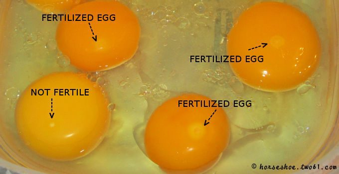 45 day, 10 bad eggs that didn't hatch