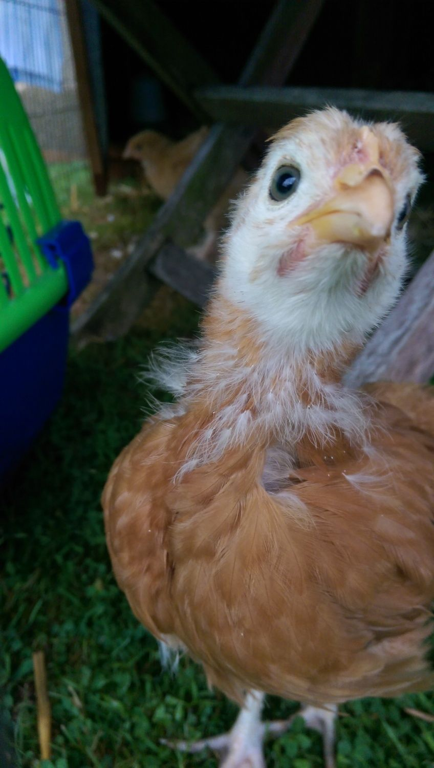 When can I move my chicks outside? | BackYard Chickens ...