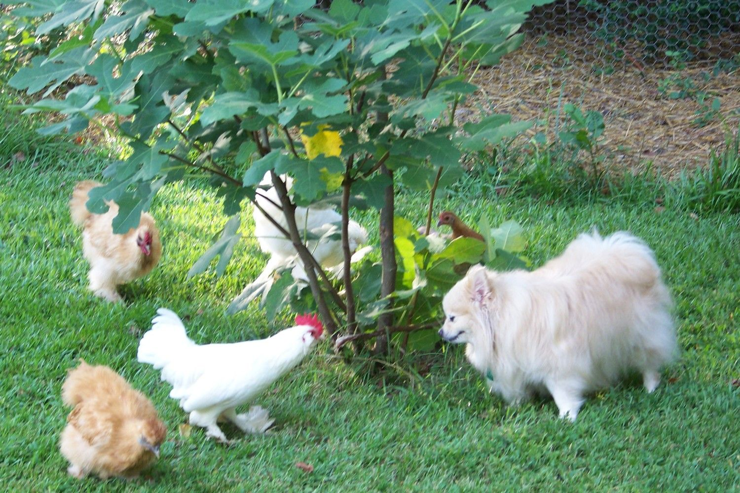 white booted bantam chicken free to good home 4 months old