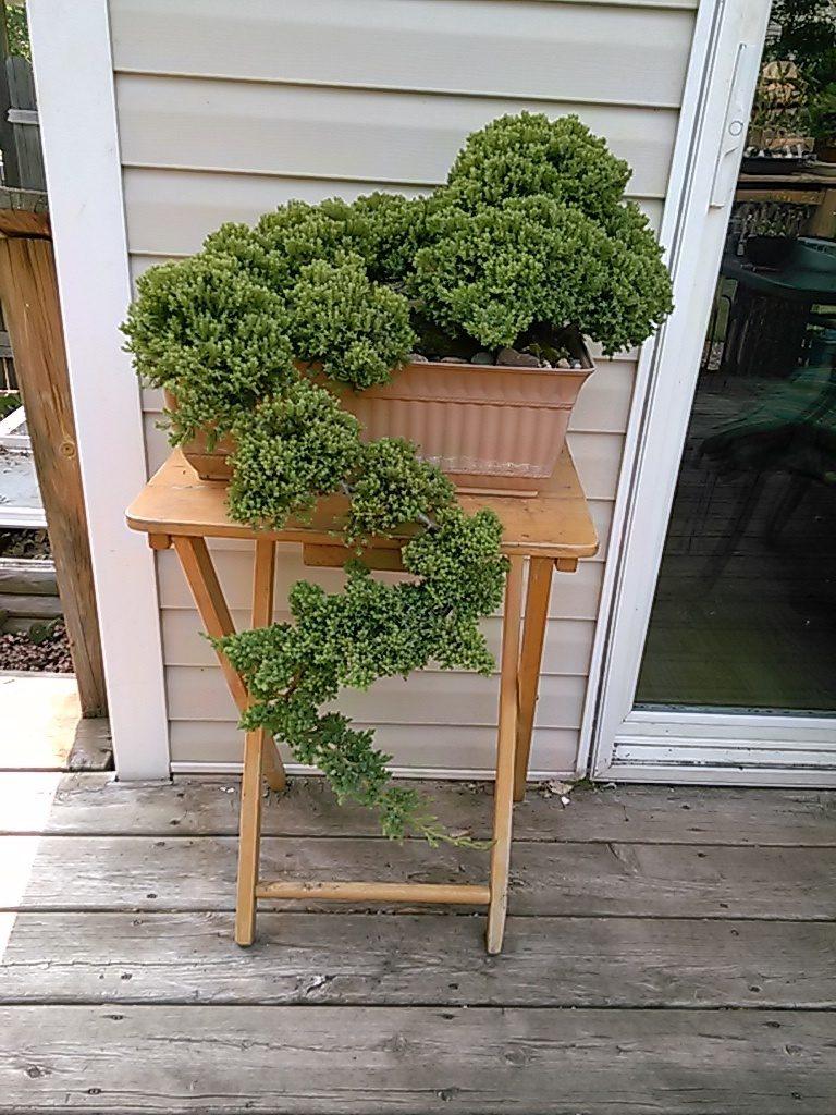 a Japanese juniper.jpg