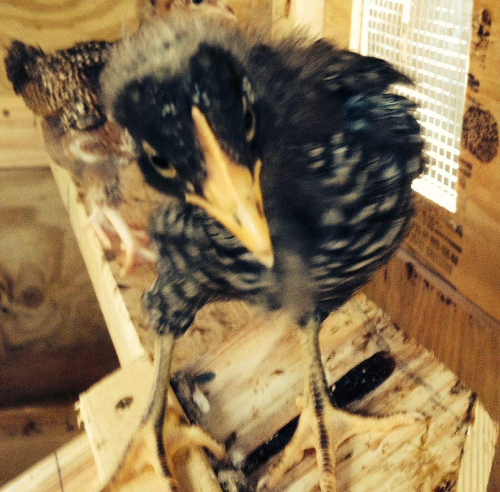 Ruth (Barred PR) having a bad hair day. Looks like a cross between a crow and a chicken