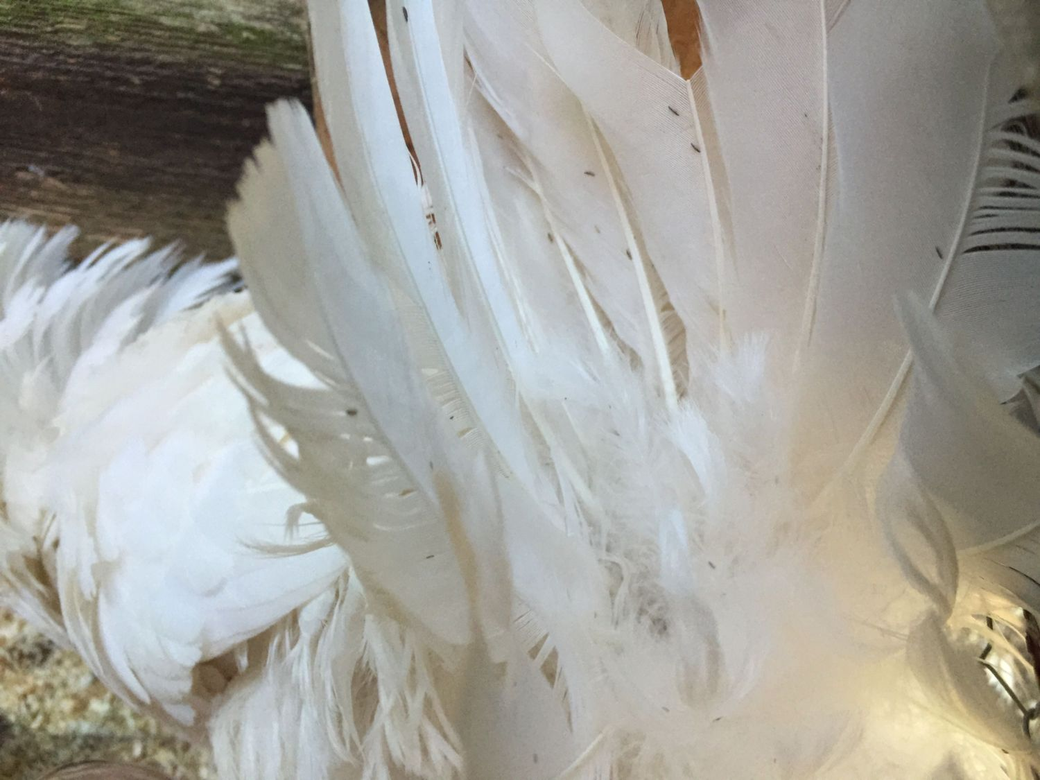 how to get rid of mites and lice on chickens
