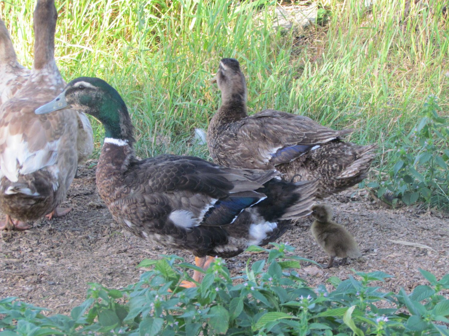 duck breed focus crested ducks backyard chickens
