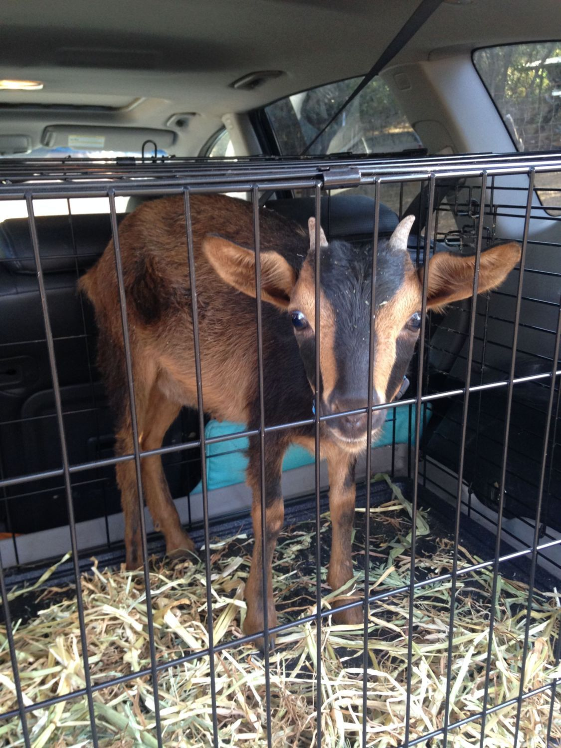 best breed of goat for a backyard farm page 3