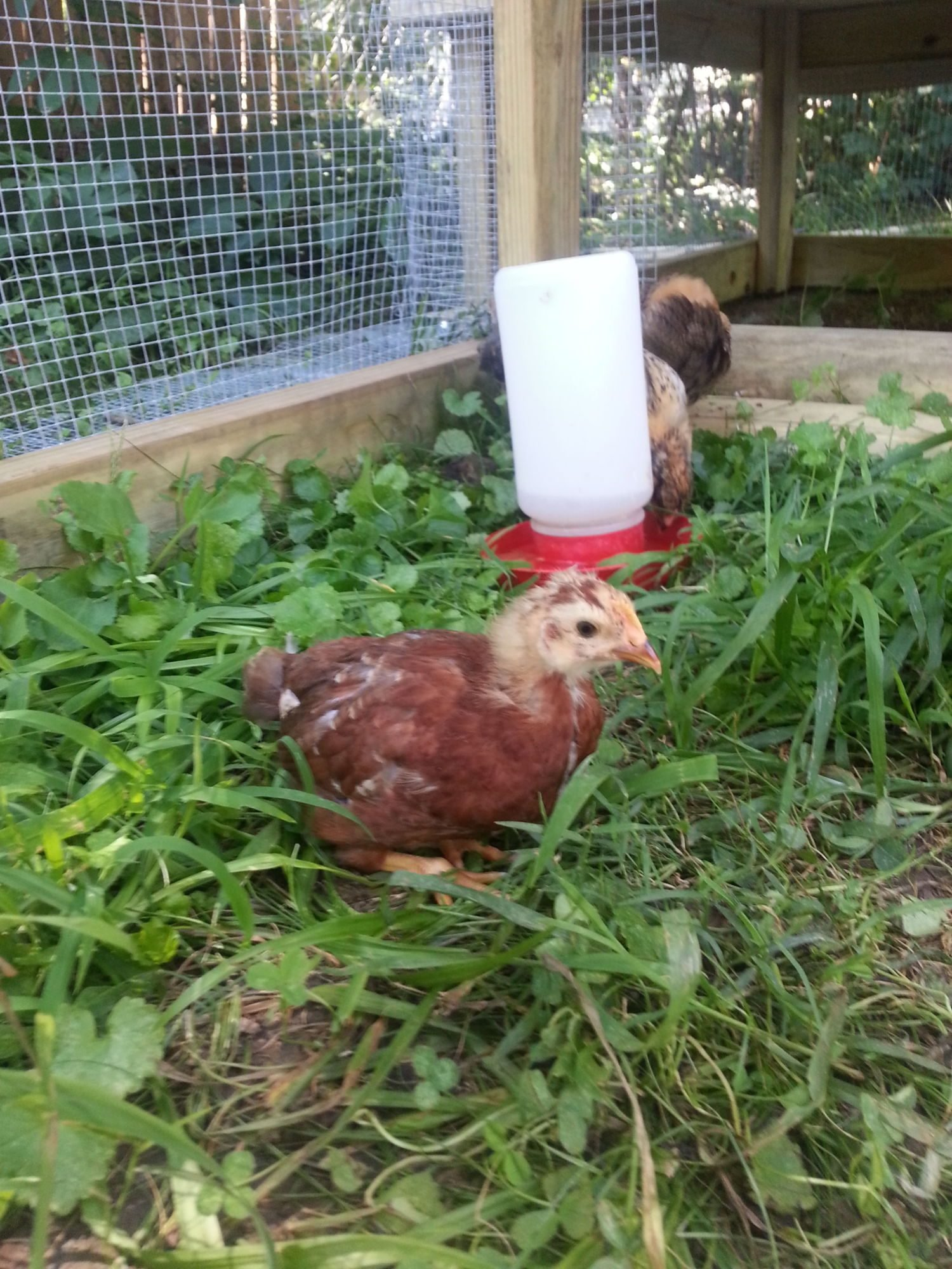 5 week old chicks. 3 EEs and a...Production Red? Help with ...