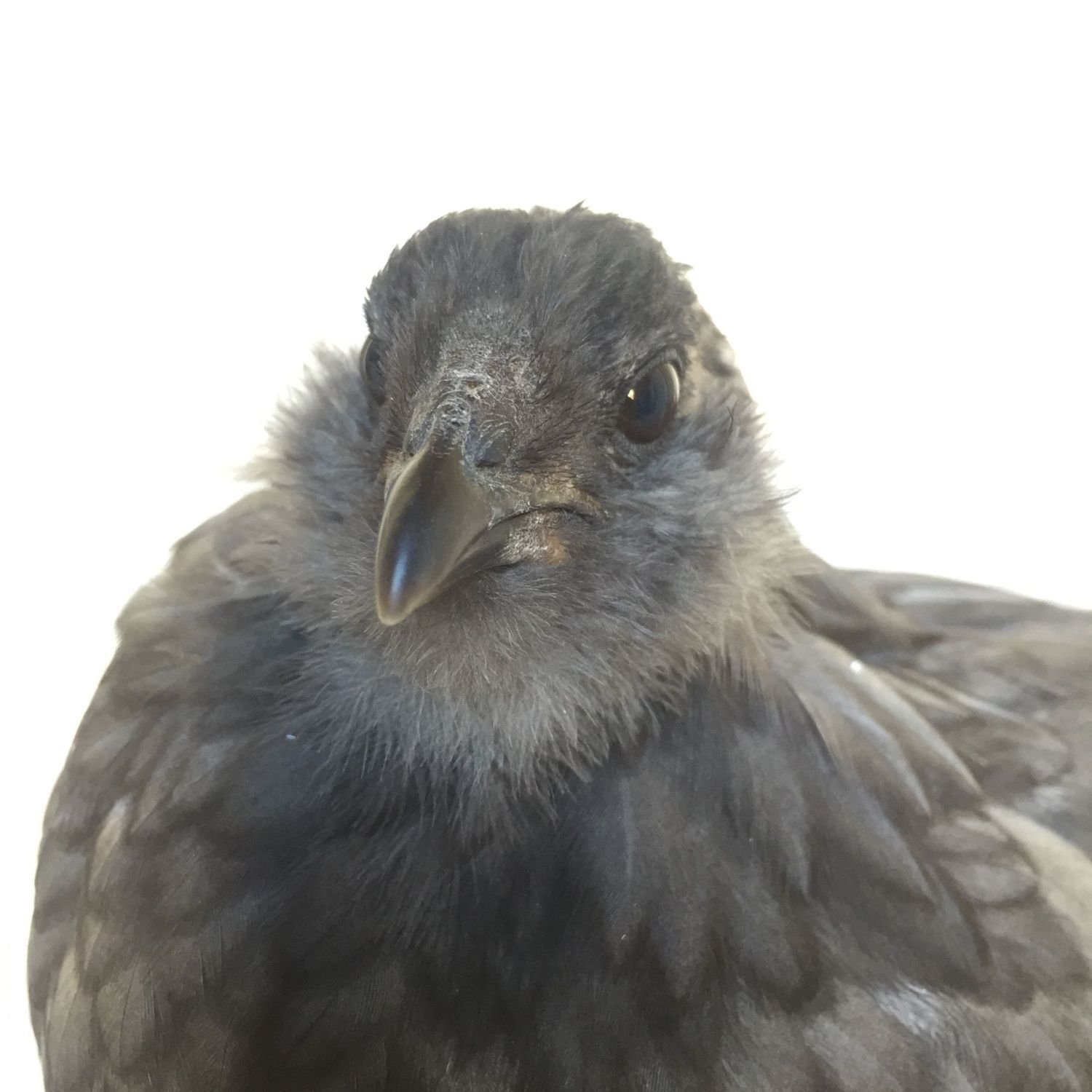 Blue Easter Egger Ameraucana Or What And Is S He A