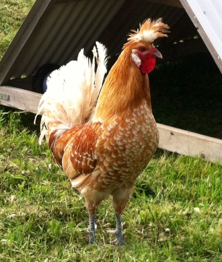 Chicken Breed Focus Appenzeller Spitzhauben Backyard Chickens Learn How To Raise Chickens