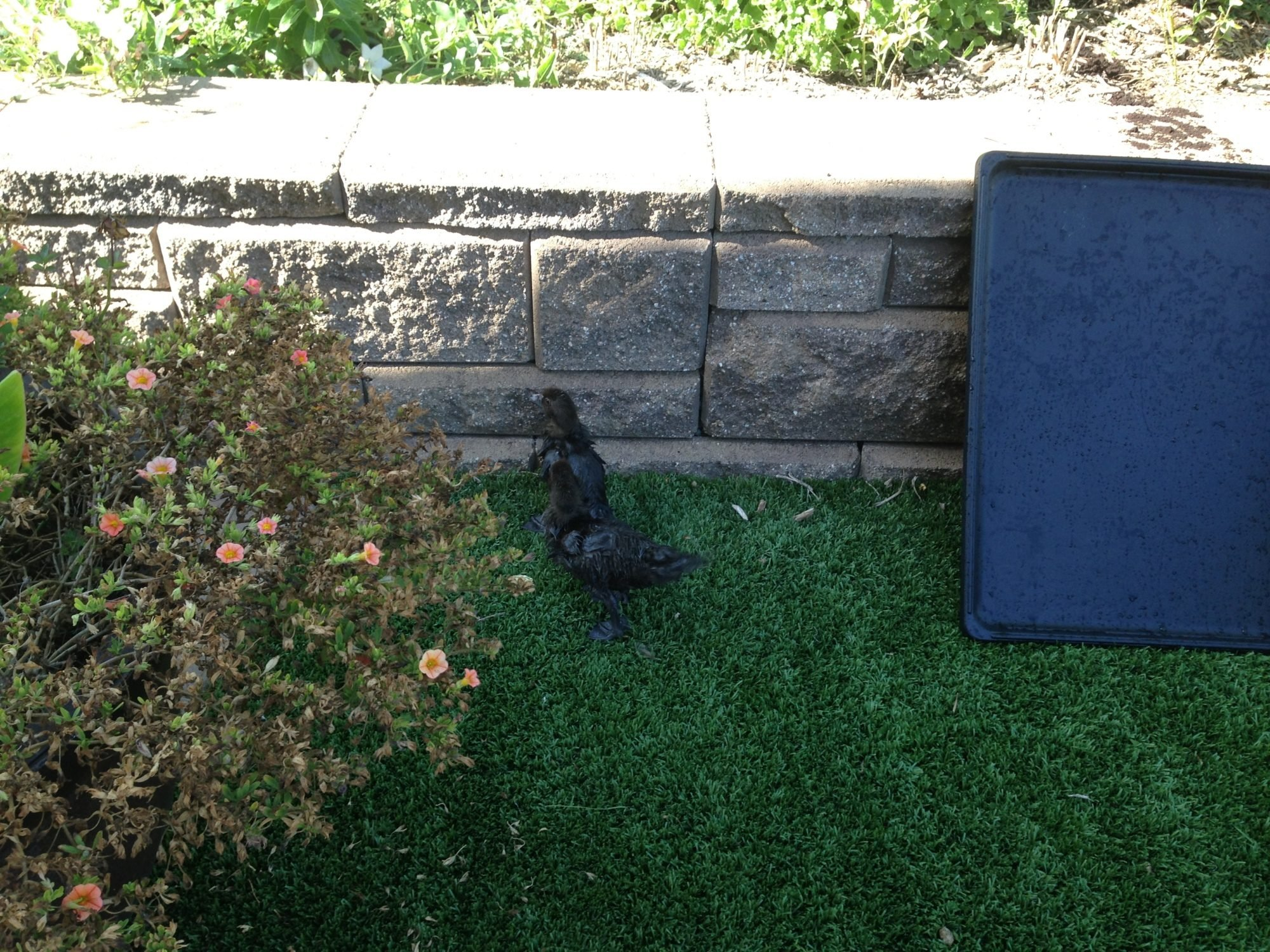fake grass artificial turf 3 yrs and counting with ducks