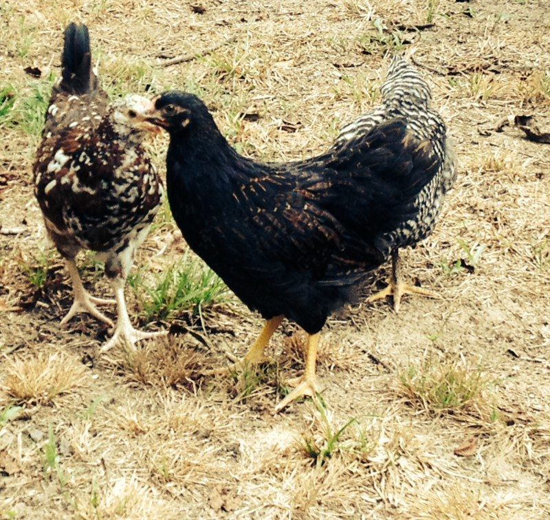 Betty (Barnevelder) and Sweetums(speckled sussex) at 9 weeks old