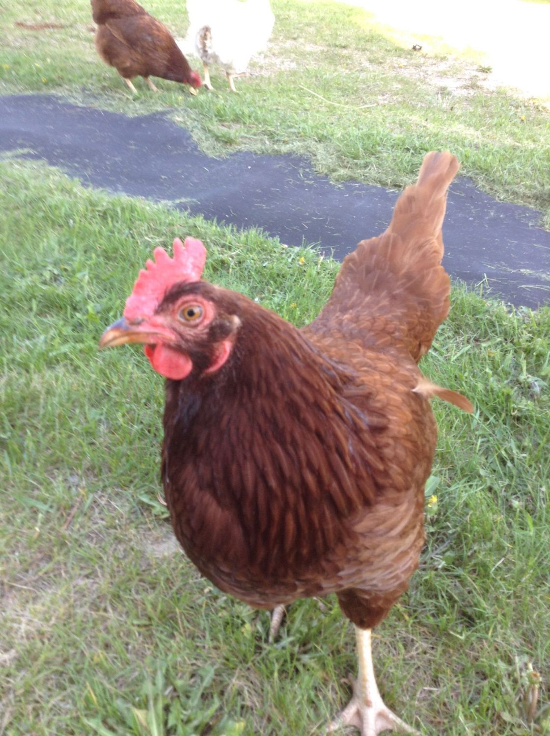 how to raise rhode island red chickens