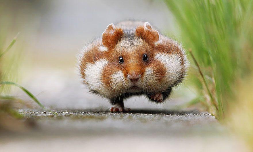 cute-hamsters-1__880.jpg