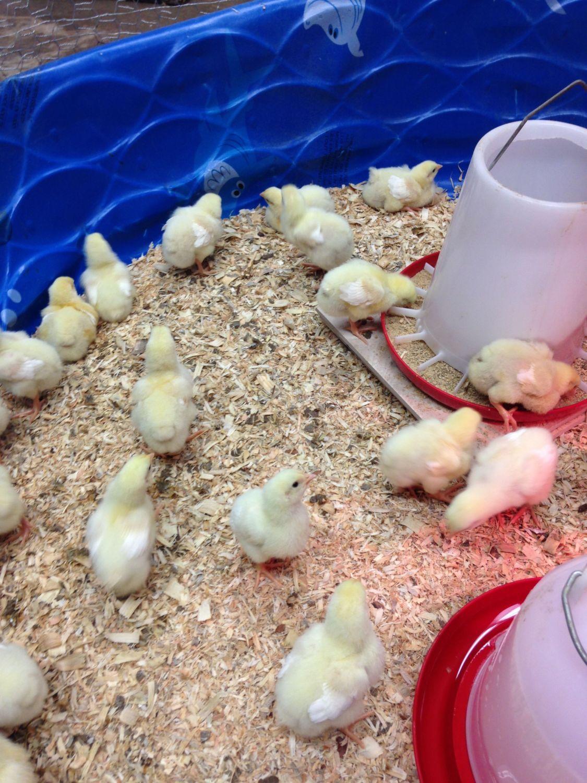 Buff Orpington chicks. White feathers? | BackYard Chickens