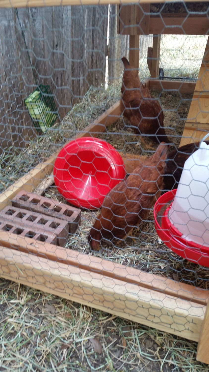rhode island red or production red backyard chickens