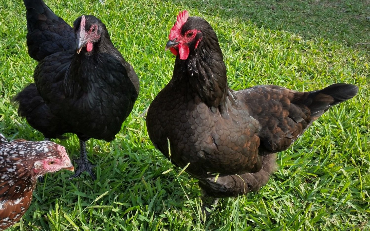 "Black Australorp ""Pearl"" (left) 25 1/2 weeks and Black Australorp ""Rosie"" 28 1/2 weeks (Started squatting today!)"