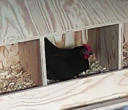 "Black Australorp ""Rosie"" 29 weeks, first time in nest box."