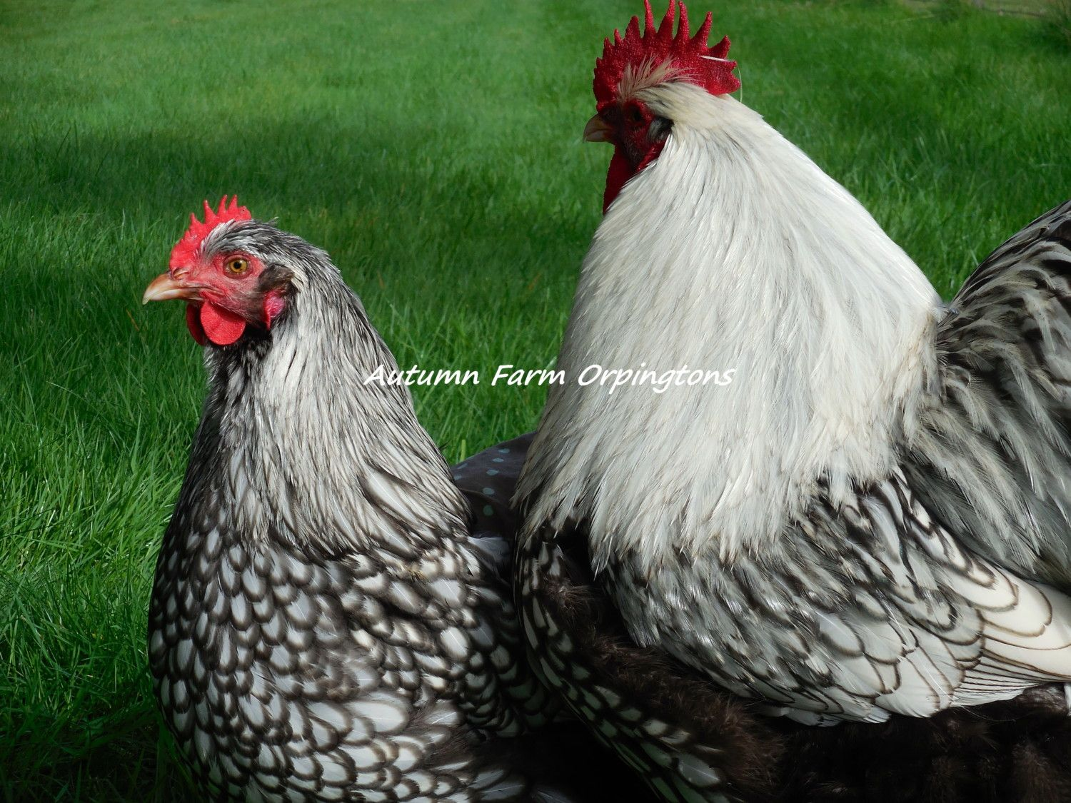 Silver Laced hen and Skip
