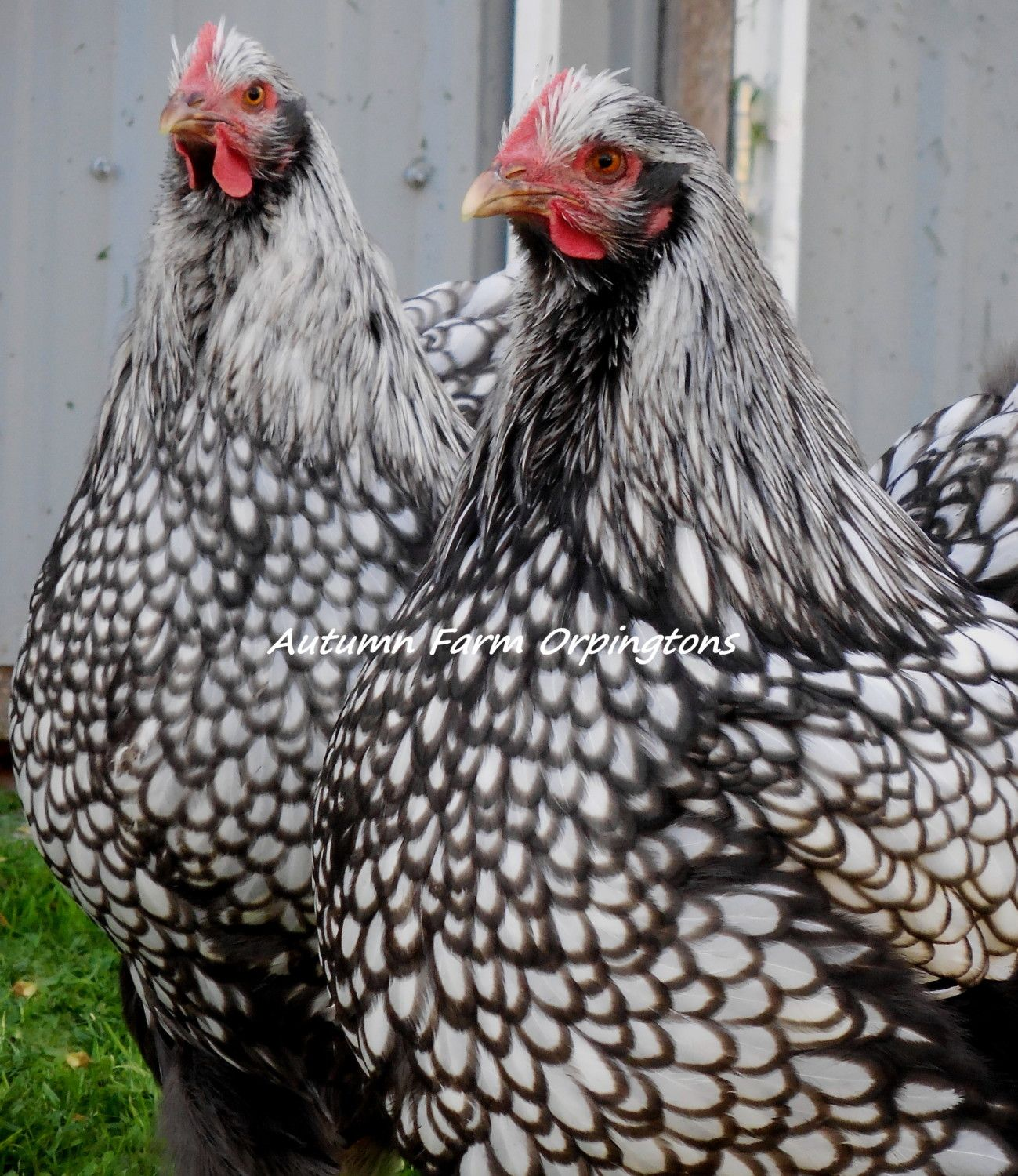 Pure English Silver Laced hens, Skip's daughters