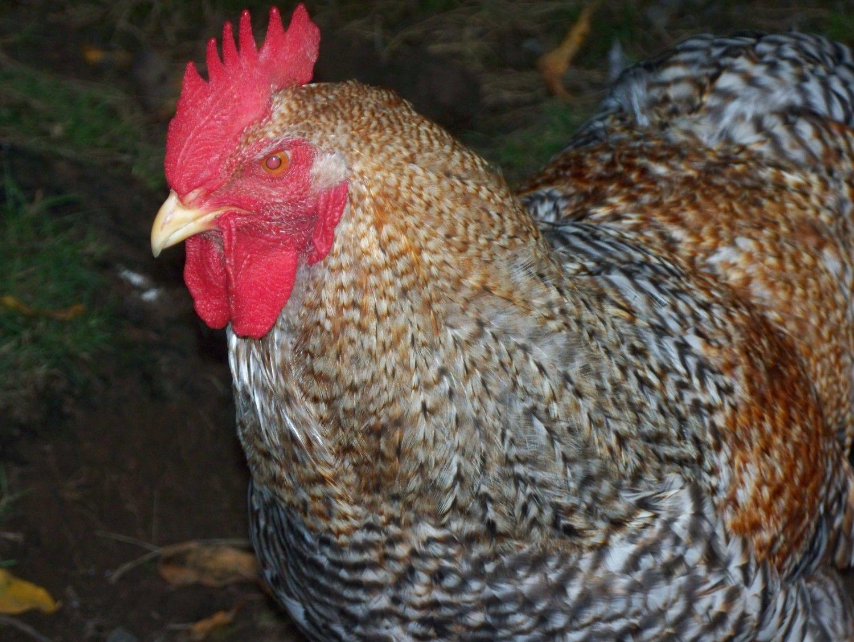 chickens today 017.JPG