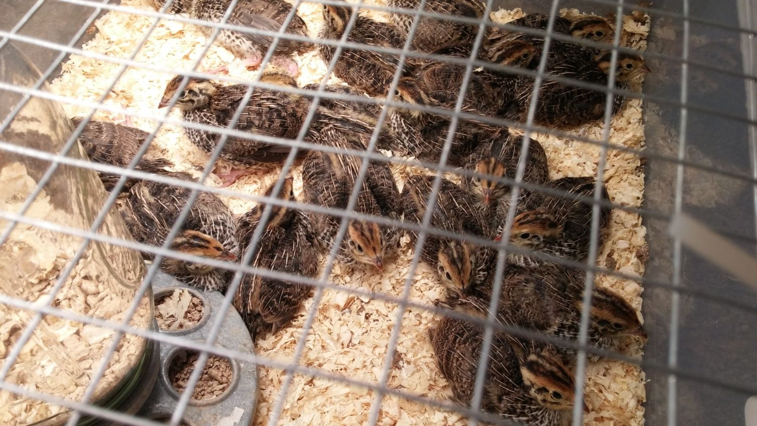jmf quail what do i have feather sexing backyard chickens