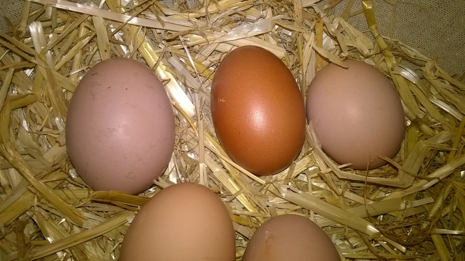 hi everyone this dark egg is the first from gertrude my copper black maran the round one is lulus my rhode island red the others are from meg my light sussex and hattie my silver sussex made up good luck
