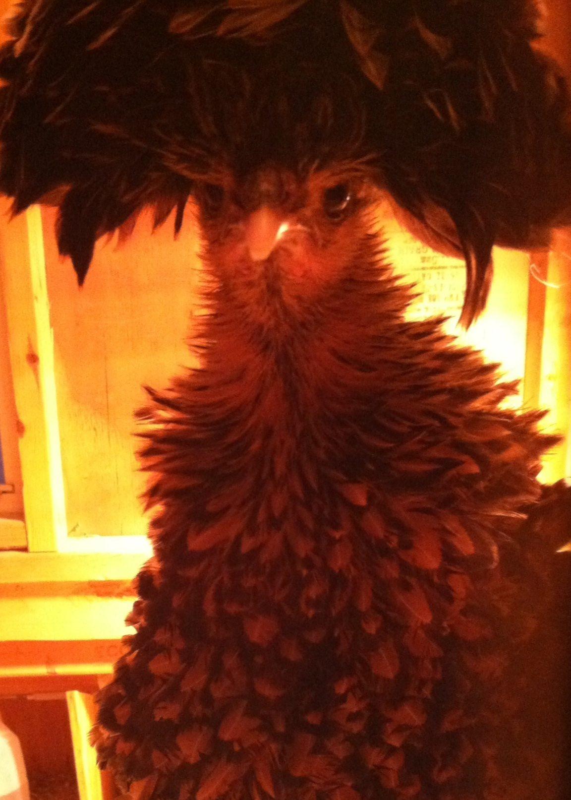 Pineapple-polish frizzle
