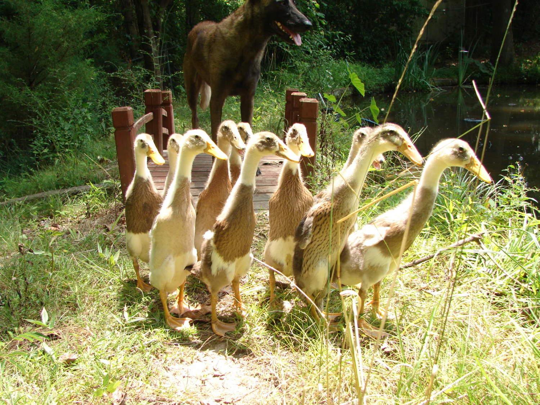 quiet ducks page 2 backyard chickens