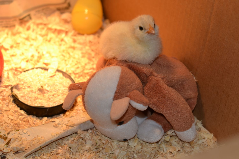 chicken and baptism 006.JPG