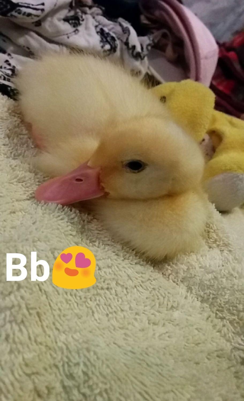 My baby pekin duck, Taiyou (Japanese for sun)