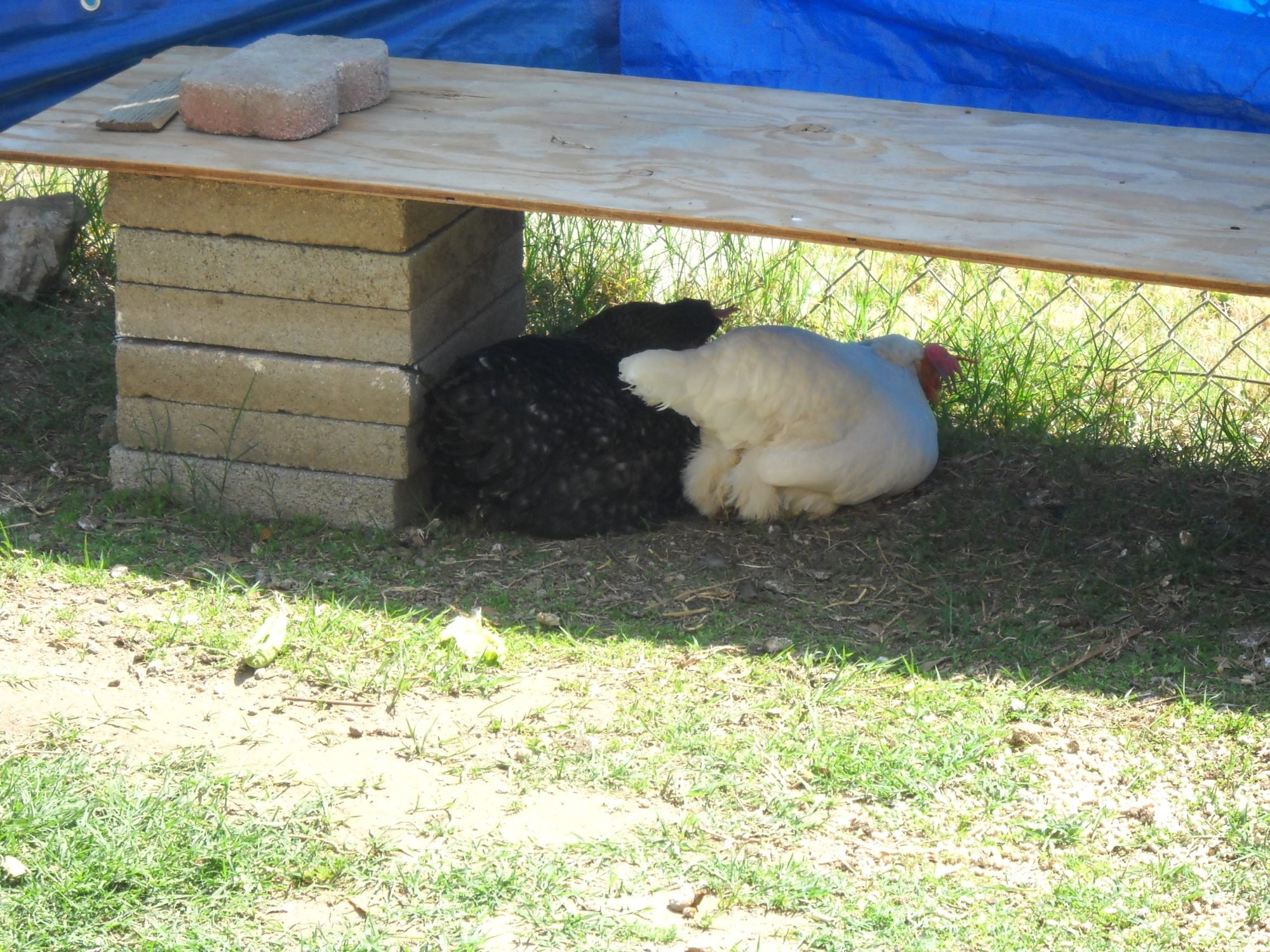 how to keep skunks away from chickens