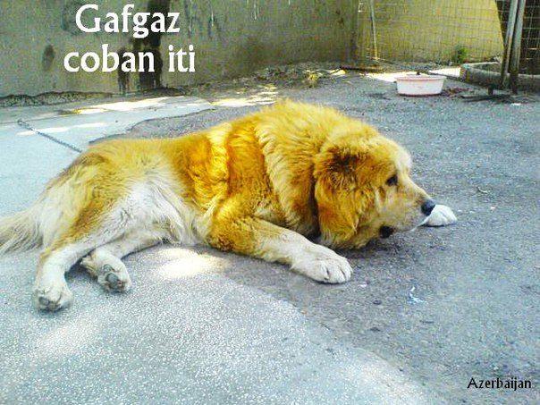 Azerbaijan breed