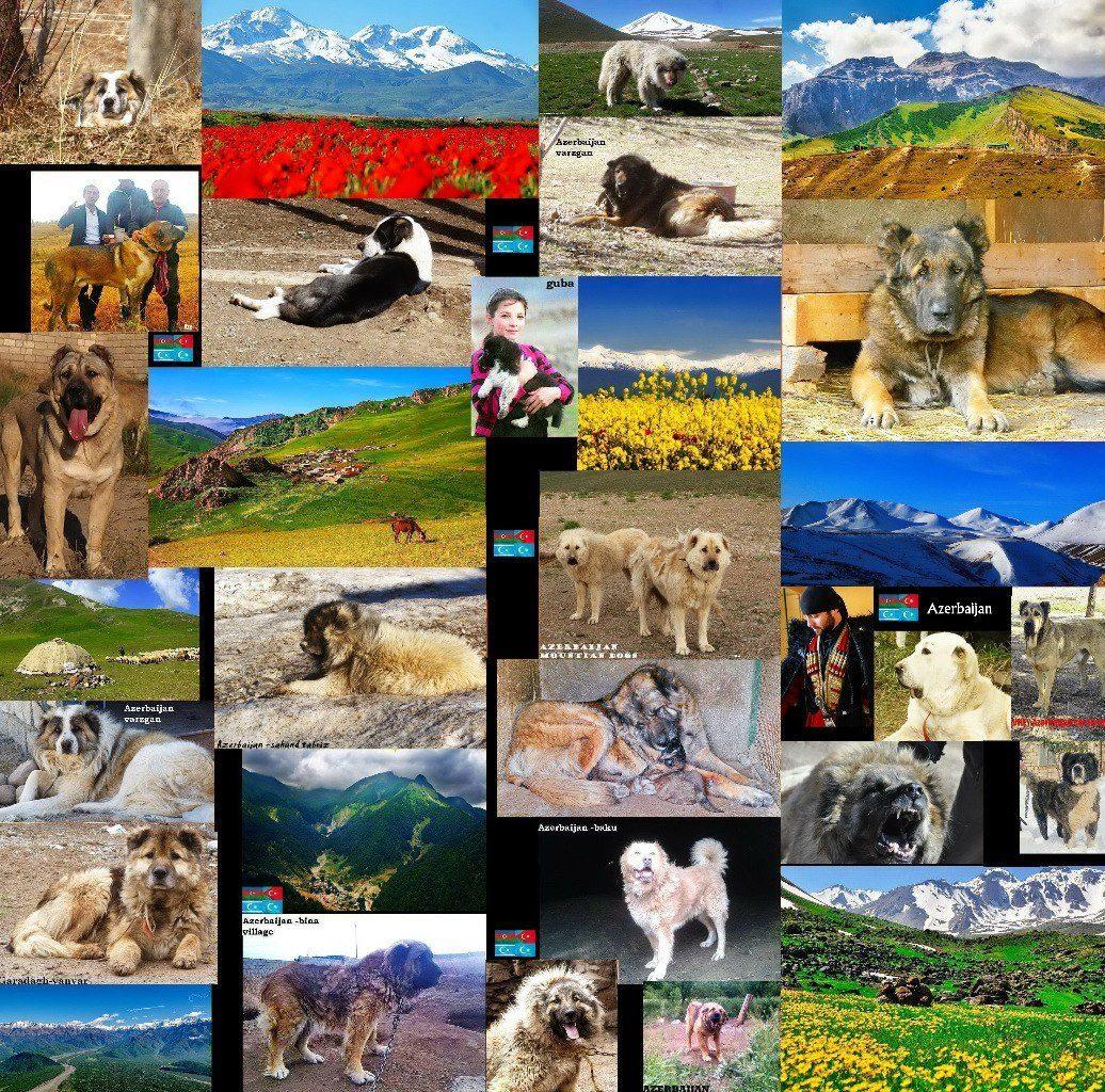 Azerbaijan mastiff