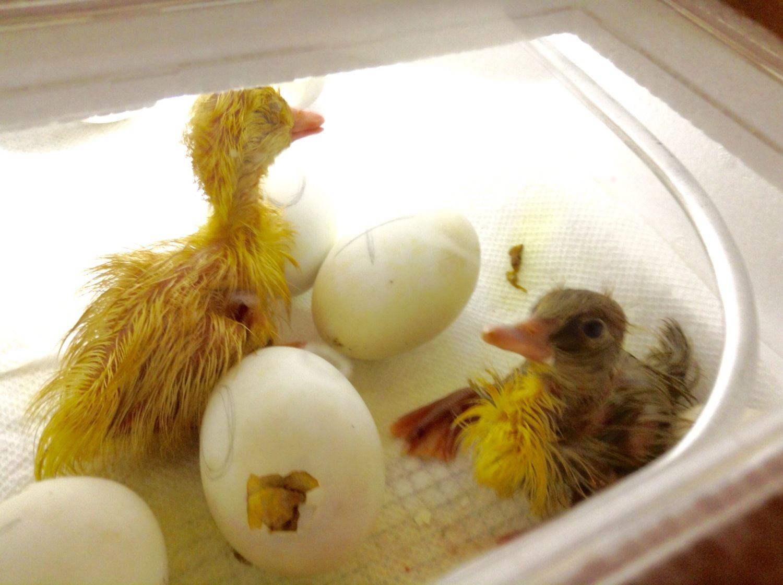 Pekin and Pekin mix ducks hatching