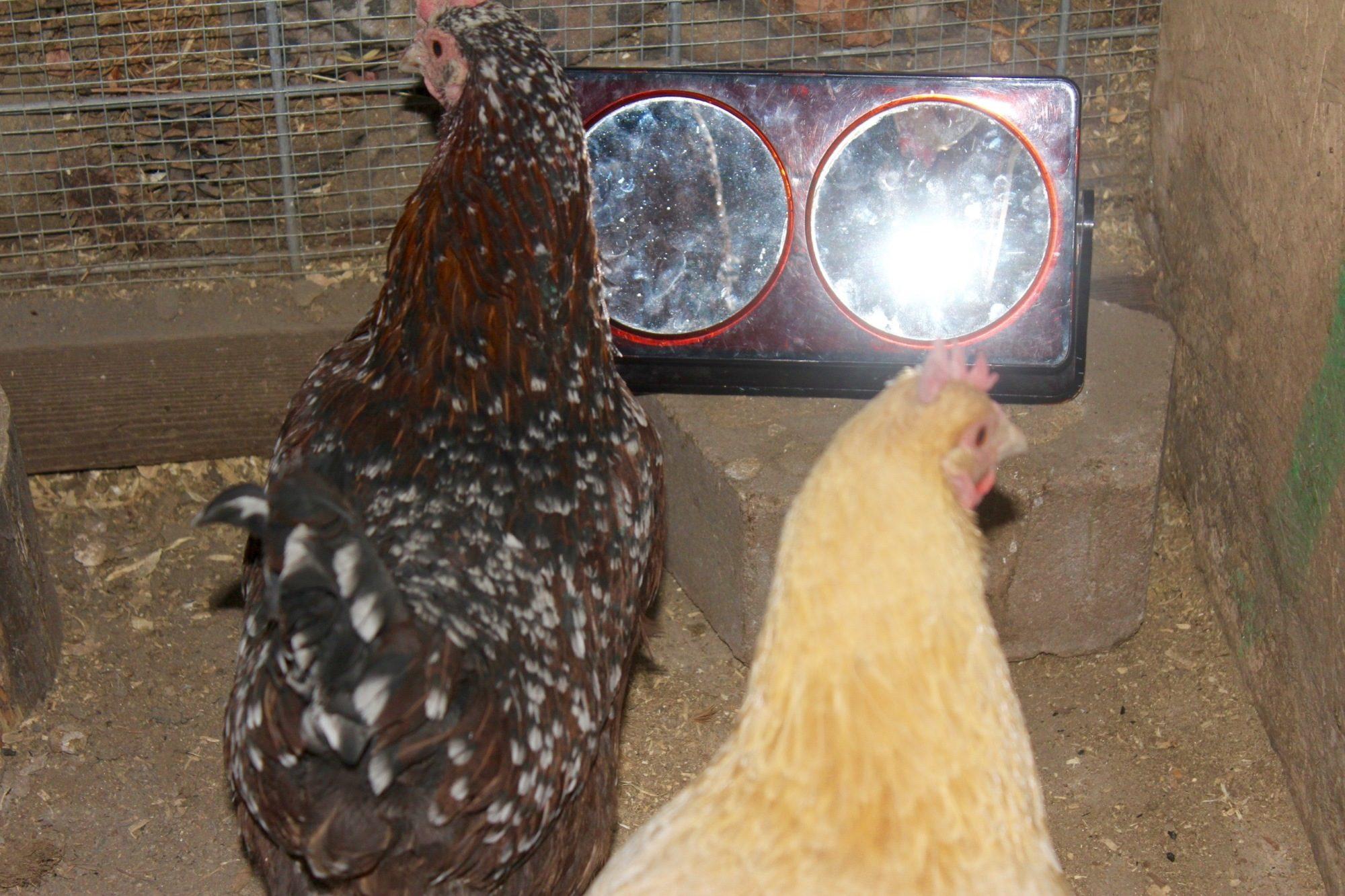 tips for preventing chicken boredom in the winter backyard chickens