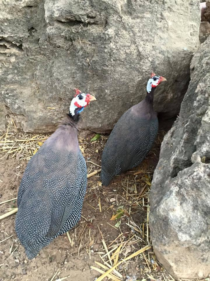 Introduction To Keeping Guinea Fowl Backyard Chickens
