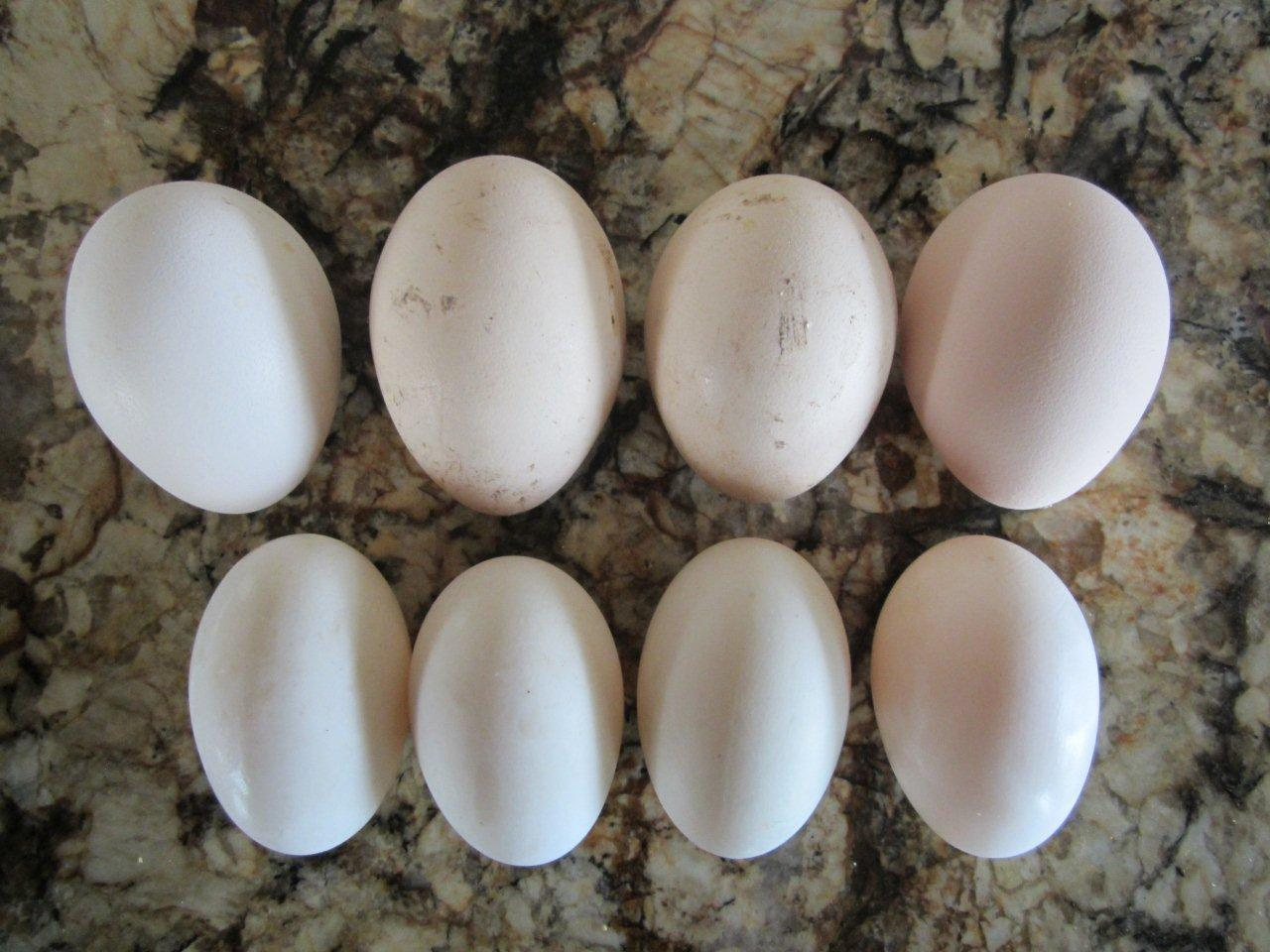 Peahen egg color and size - Page 3
