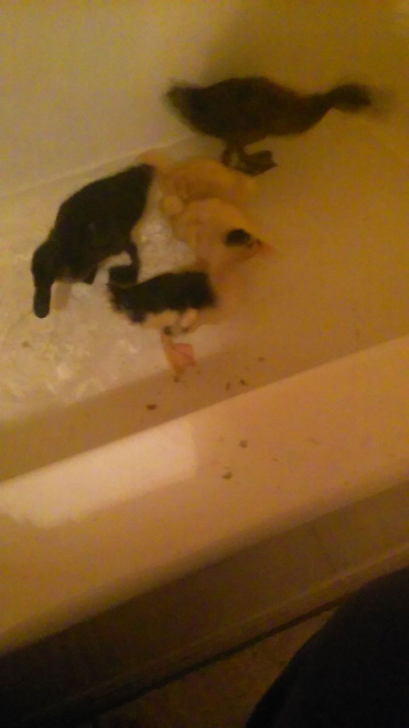 Bath time for the baby ducks