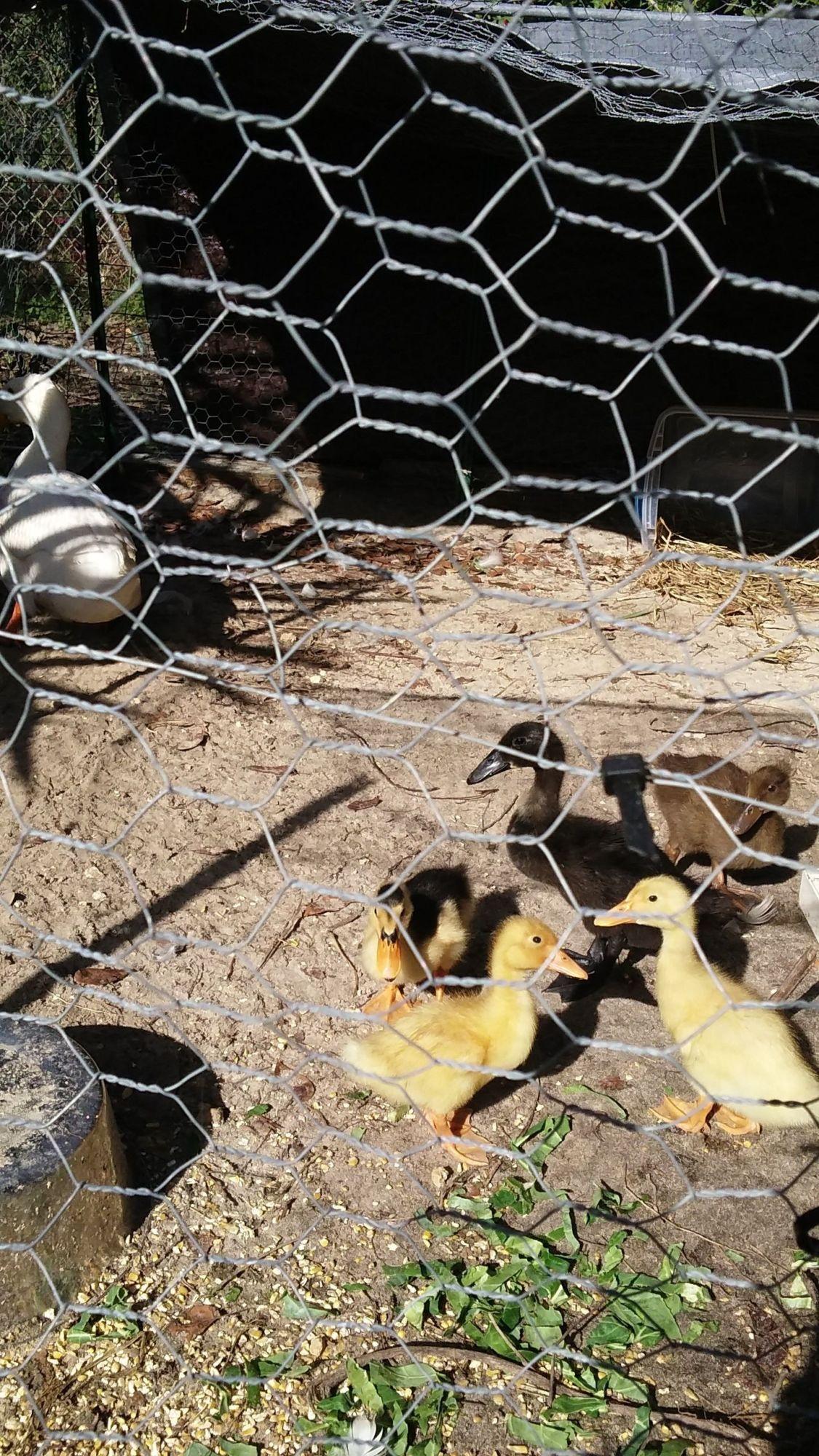 Little ducks enjoying breakfast