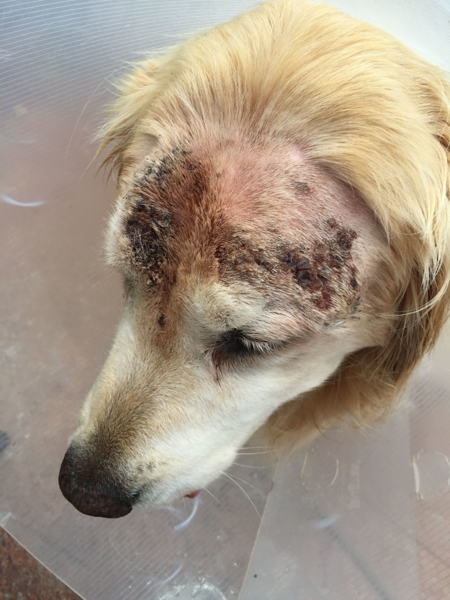 Golden Retriever With Recurring Skin